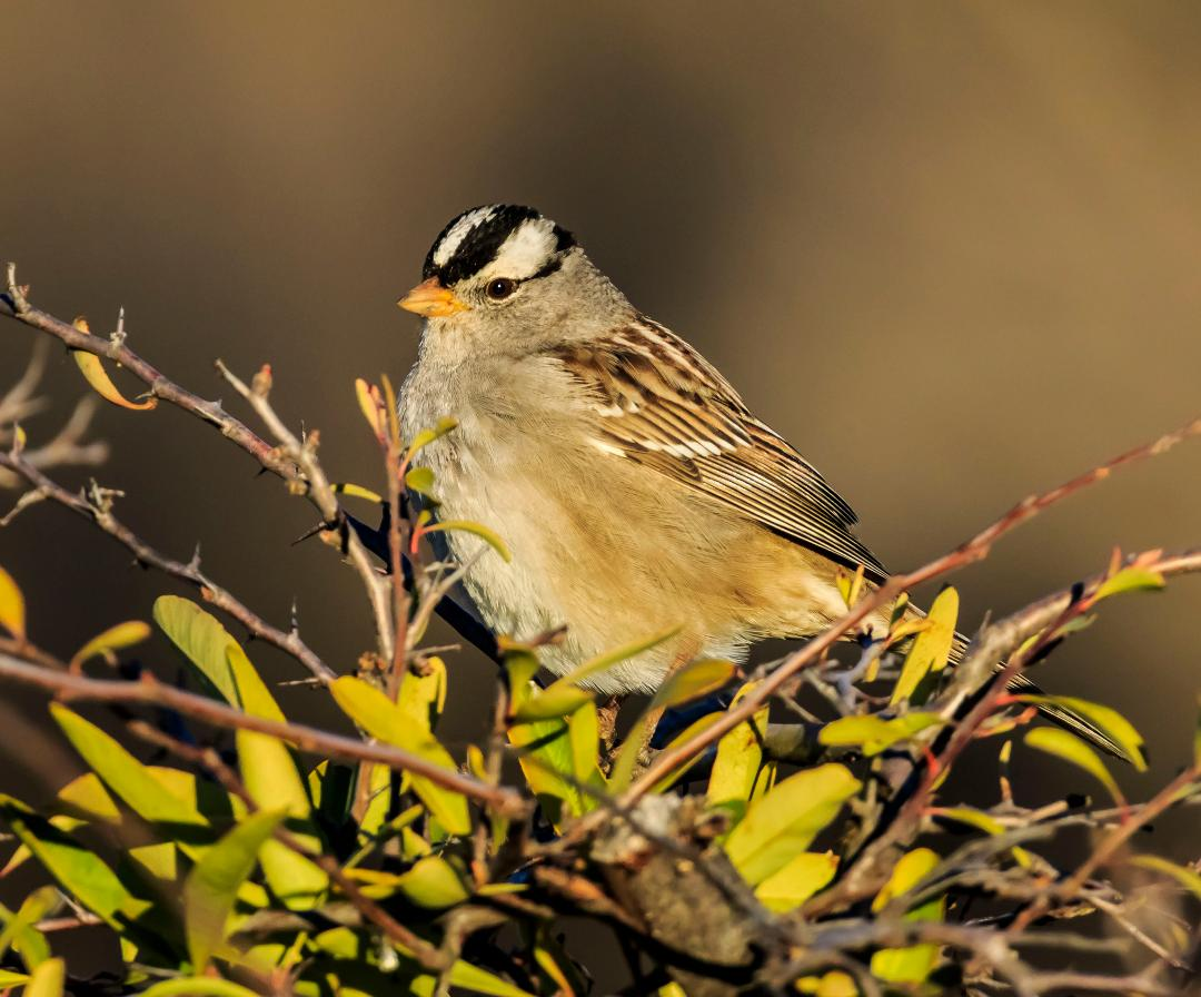 White-crowned Sparrow, credit Ken Ealy