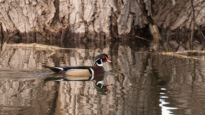 Photo of Wood Duck by Beth Savidge